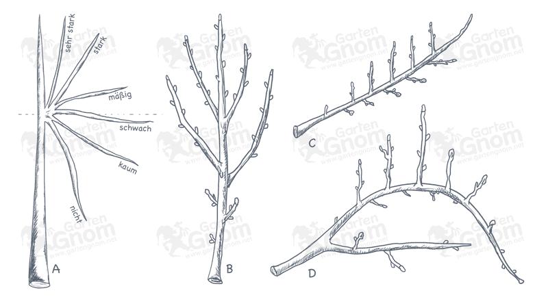 Obstbaumschnitt - Wuchsgesetze