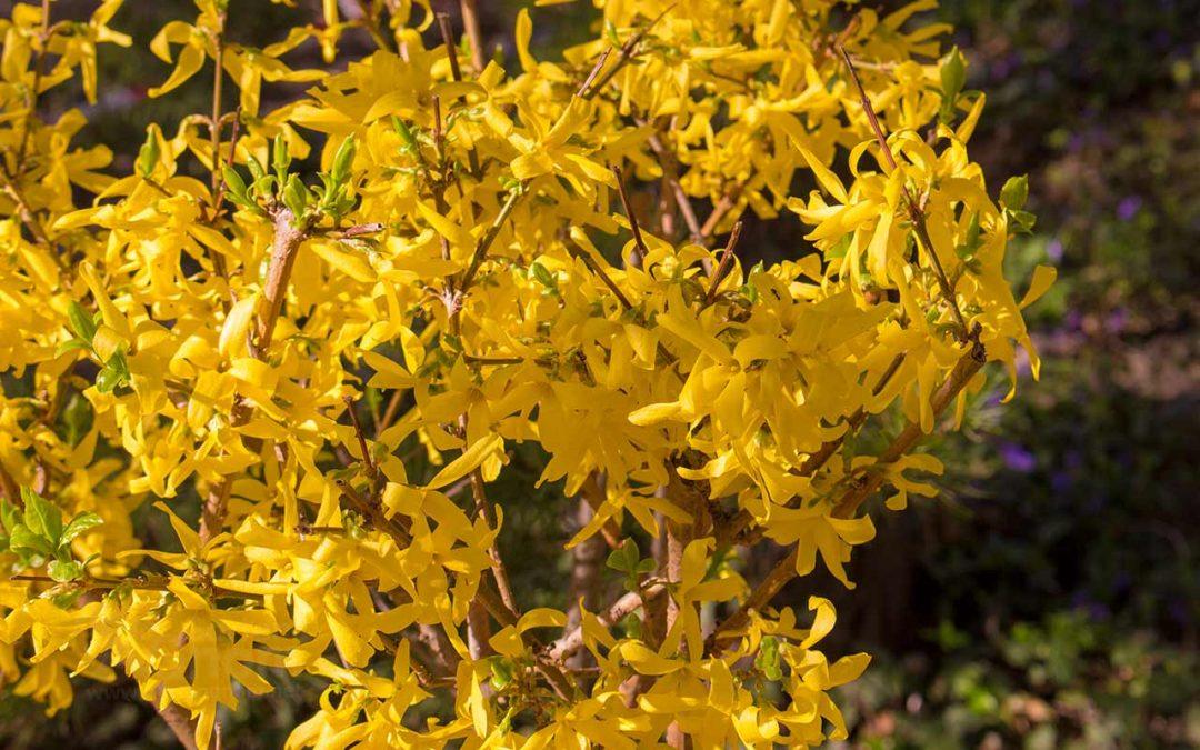 Forsythie: wertlose gelbe Blütenpracht