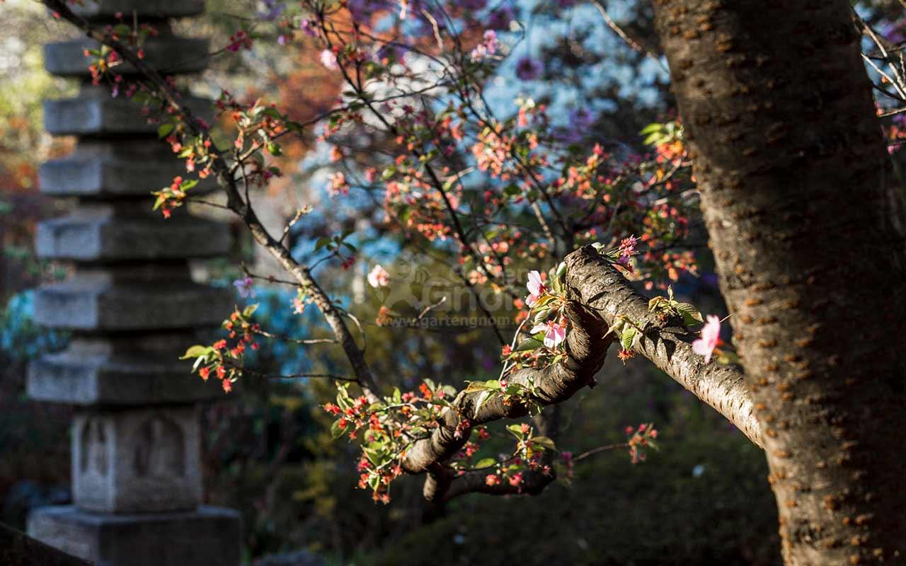 Kirschblüte und Stein-Pagode