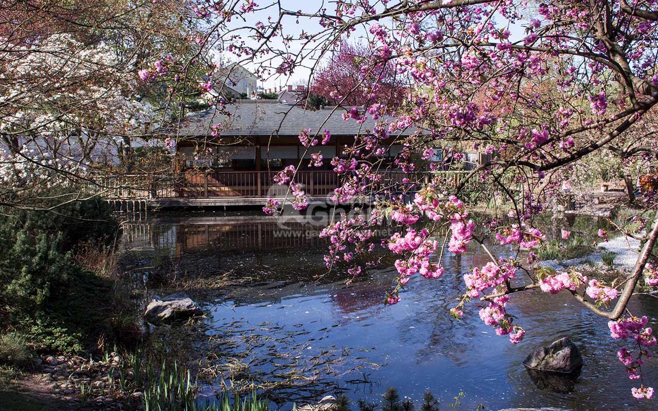 Japanisches Teehaus und Kirschblüte