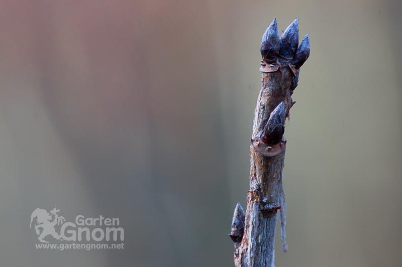 schwarze Johannisbeeren (Ribiseln)