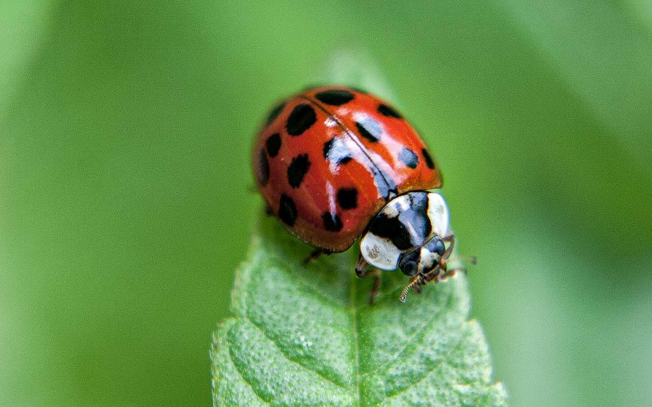Käfersaft: asiatische Marienkäfer im Obst
