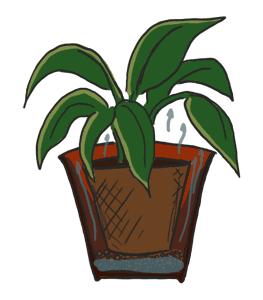 Zimmerpflanze mit Blähtonbefeuchter
