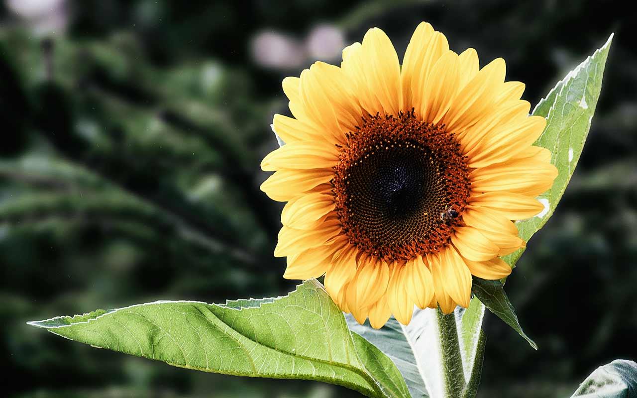 Sonnenblumen säen: Eine Guerilla-Gardening Aktion zieht um die Welt