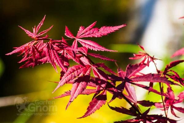 Auch ohne Blüten bringt Ahorn ordentlich Farbe in den Herbst.
