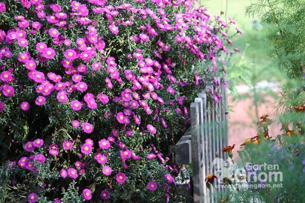 Herbstastern blühen über und über in den schönsten Farben wie rosa bzw. pink, weiß und blau-violett.