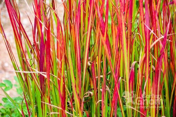 Das japansiche Blutgras macht mit seinen roten Blättern seinem Namen alle Ehre.