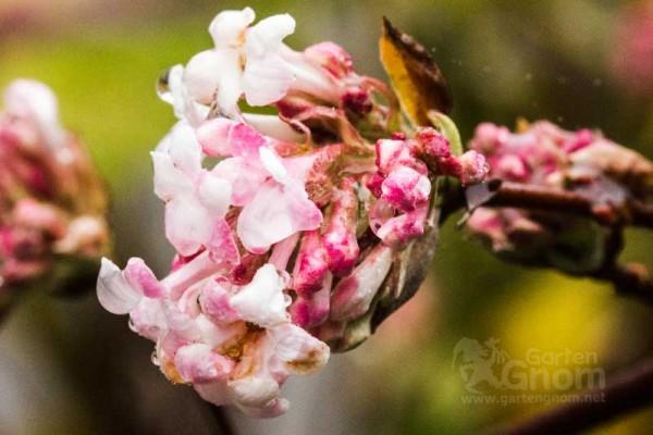 Der Winterschneeball (Viburnum) zeigt nach seinem Herbstkleid seine wunderbar duftenden Blüten.