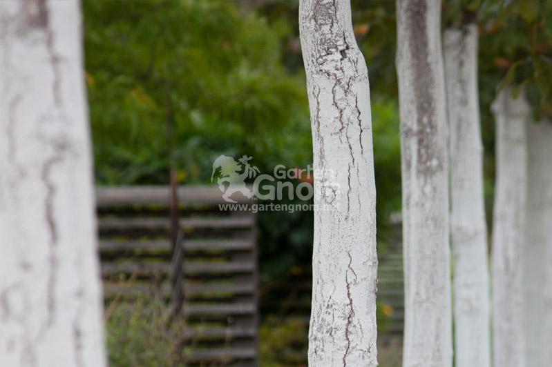 Weißer Baumanstrich gegen Frostschäden.