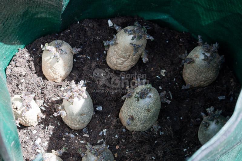 vorgekeimte Kartoffeln im Pflanzsack