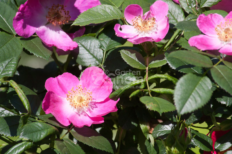 Rose: Kiese