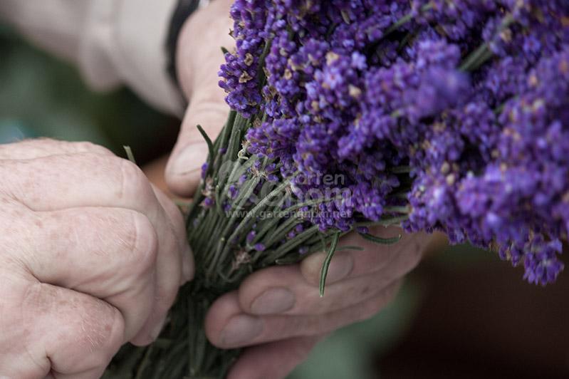 Lavendel zum Trocknen zusammenbinden