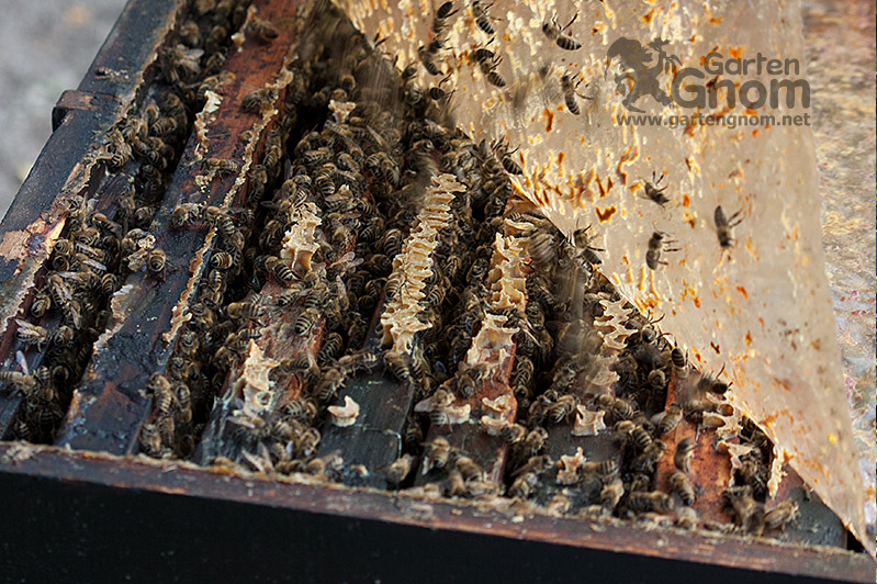 Blick in den Bienenstock