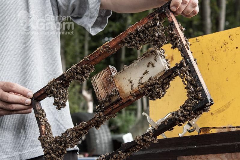 Ameisensäure gegen die Varoa-Milbe