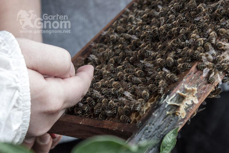 Bienen-Streicheln