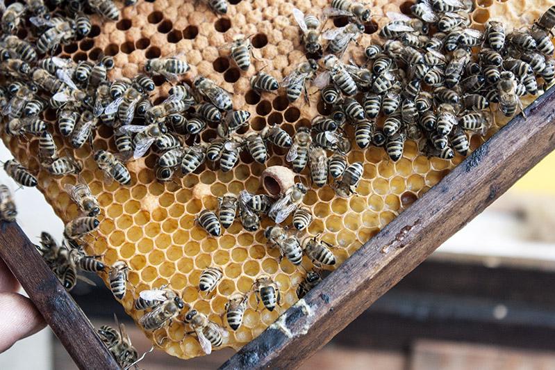 Bienen auf den Waben