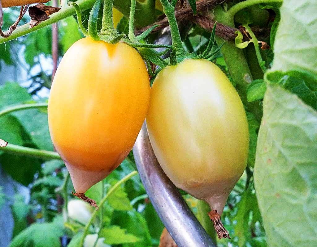 Blütenendfäule an gelben Cream Sausage Tomaten.