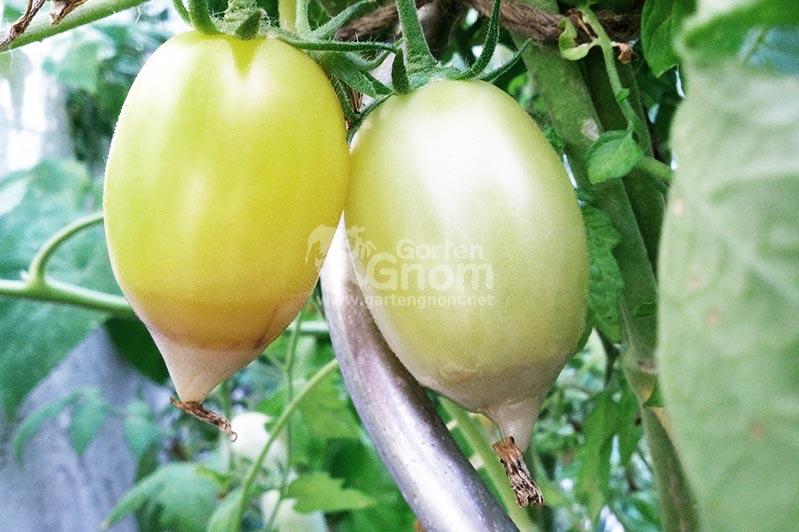 tomaten braune blätter
