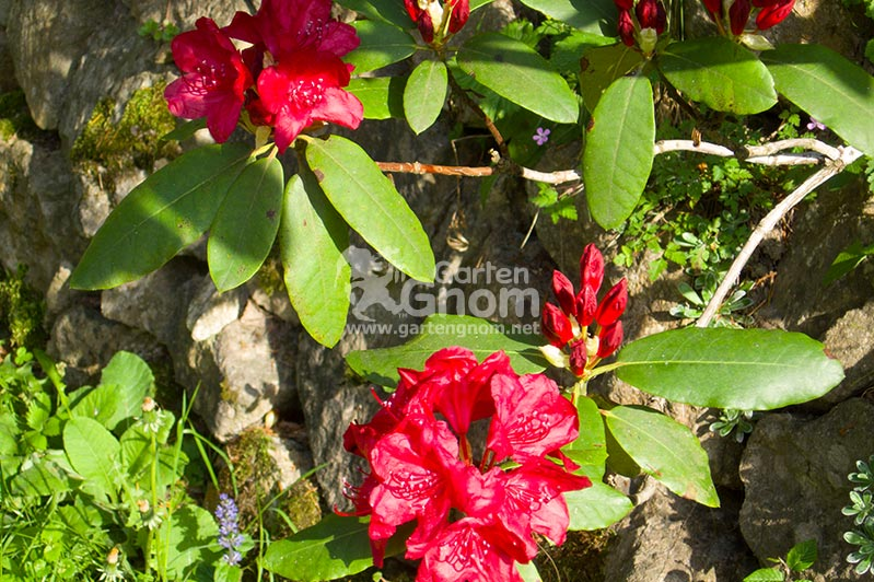Roter Rhododendron