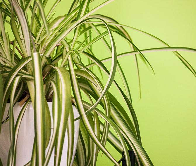 Zimmerpflanzen und trockene Raumluft