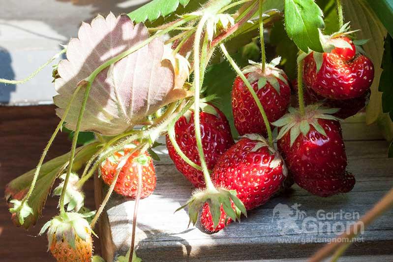 Garten-Erdbeeren am Balkon.