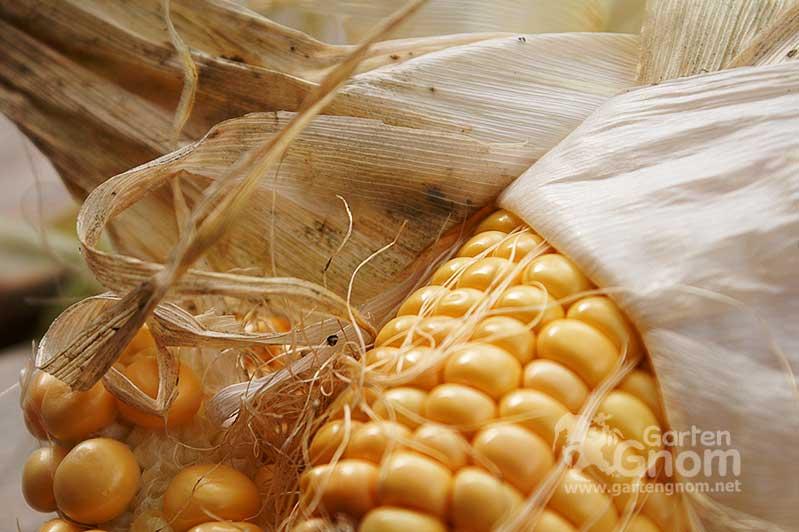 Frisch geernteter Mais aus dem Garten.