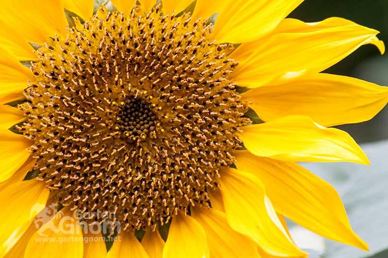 Eine Sonnenblume im GartenGnom-Garten.