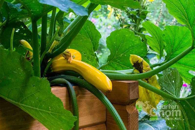 Eine gelbe Zucchini im Hochbeet.