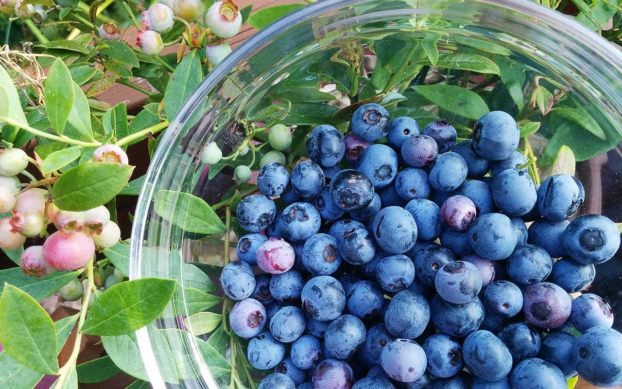 Saftige Heidelbeeren (Blaubeeren) im eigenen Garten pflanzen