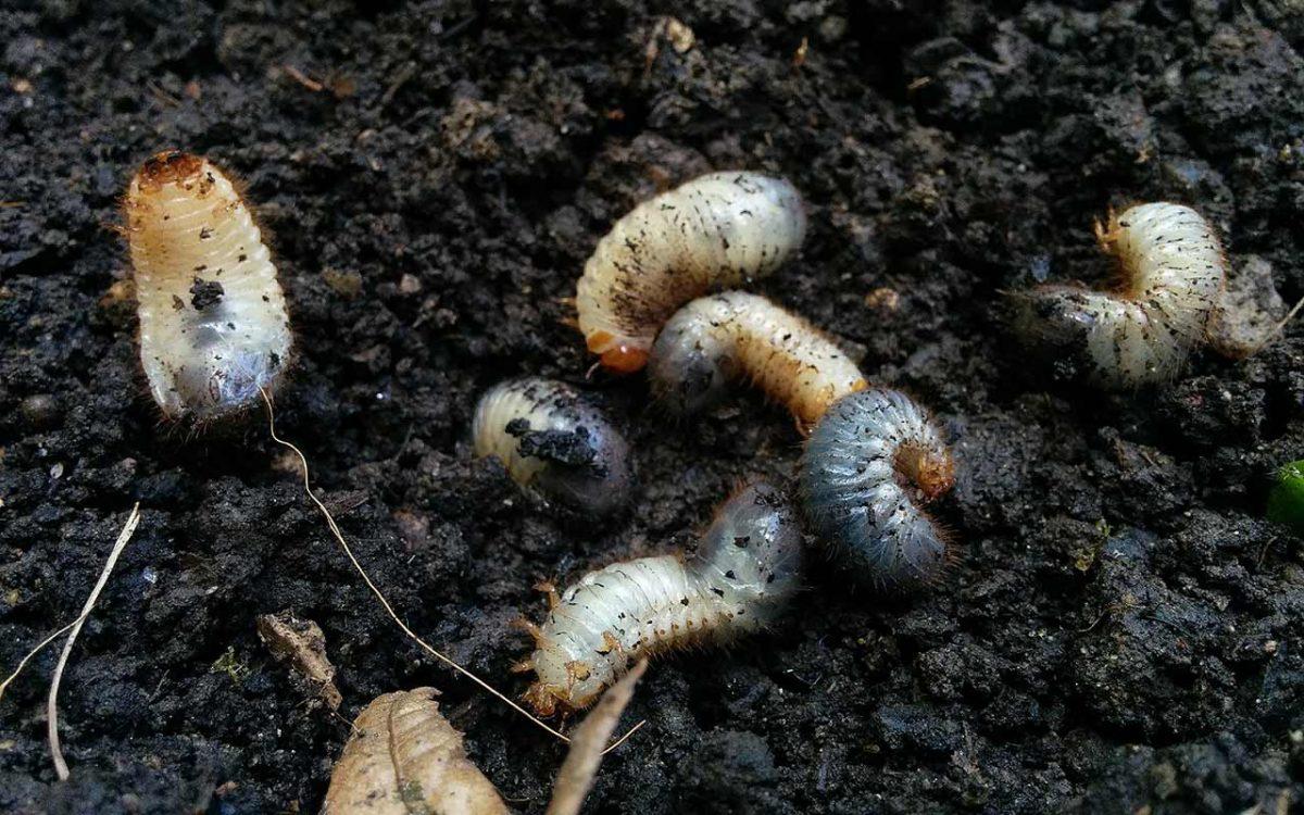 Rosenkäferlarven im Beet
