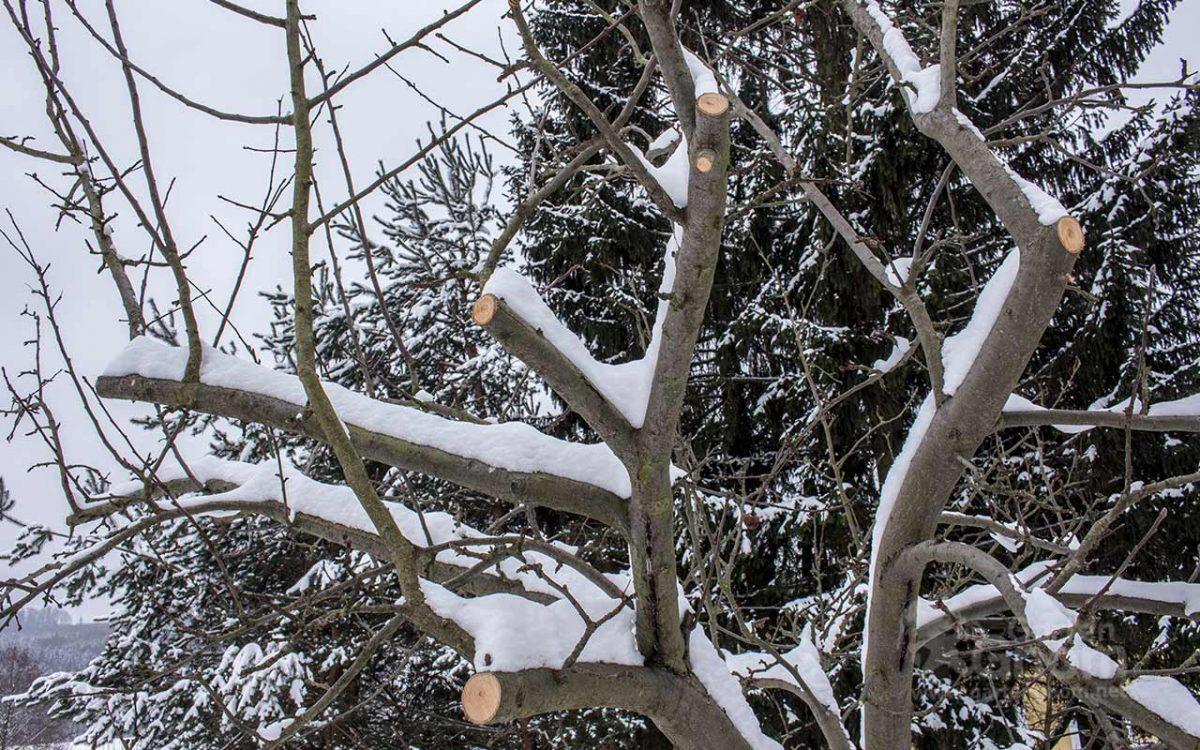 Winterschnitt eines Apfelbaumes