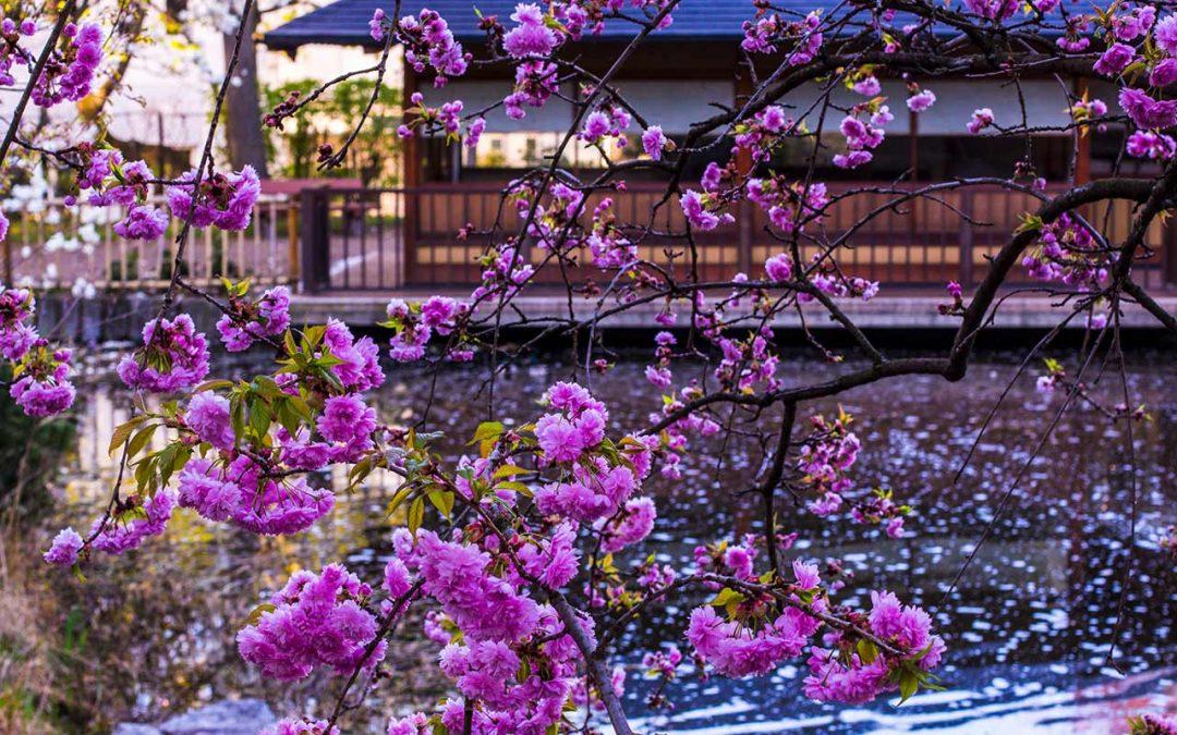 Setagayapark: Kirschblüte im japanischen Garten in Wien