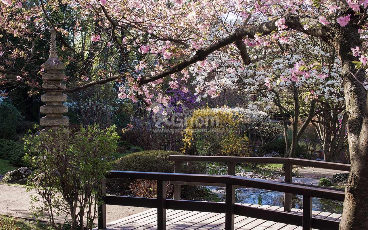 Brücke, Pagode und Kirschblüte